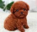 广州天河区附近卖狗的 珠江新城哪买泰迪熊好 茶杯犬