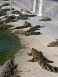 石家庄有没有鳄鱼养殖场?大型鳄鱼养殖场