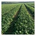 果大丰产香蕉草莓苗盆栽地栽 挂果多收益高易成活早收