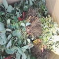 天仙醉草莓苗亩产多高 银庄农业草莓苗培育基地