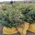 智利杜克蓝莓苗亩产量、山东智利杜克蓝莓苗基地