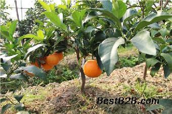 爱媛42号柑橘苗基地,爱媛42号柑橘苗特点