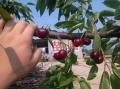 车厘子樱桃苗,2年生车厘子樱桃苗,车厘子樱桃苗多少钱一棵