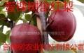 大量供应全红梨树苗