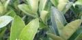 玉林茂谷柑桔苗多少钱一株