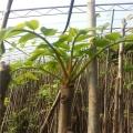 泰山红油香椿价格 自产自销 各种规格 品种好 价低