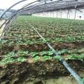 无毒草莓苗销售、山东无毒草莓苗种植基地