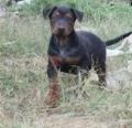 绍兴小莱州红犬多少钱 莱州红犬幼犬训练视频
