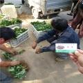 云南隋珠草莓苗价格