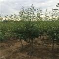 红香梨树苗多少钱一棵