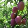 哪里有法兰西西梅李子树苗哪里有法兰西西梅李子树苗哪里有出售的