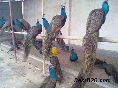 阜阳哪里卖成年绿壳蛋鸡观赏鸡
