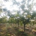 5公分占地枣树 地径5公分裸根枣树产地