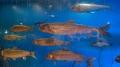 泉州查干湖鱼销售