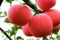 好山好水优苹果,有健有康采水源