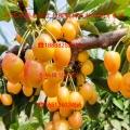 二公分大樱桃树苗、新品种二公分大樱桃树苗直销基地
