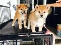 珠海哪里有卖纯种柴犬 纯种日本柴犬多少钱
