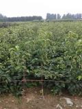 占地用梨树苗批发多少钱、占地梨树苗附近哪里有