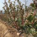 智利杜克蓝莓苗产量、智利杜克蓝莓苗