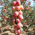 2019年红富士苹果苗出售 红富士苹果苗直销