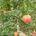 泰山红石榴苗今年价格 泰山红石榴苗现在行情
