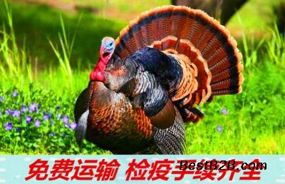广西壮族自治区贵港市养殖七彩山鸡商品鸡效益怎么样啊