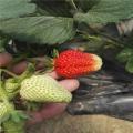 高产牛奶草莓苗 四季草莓苗价格 大量供应 热销