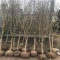 5公分石榴苗、5公分石榴苗新品种