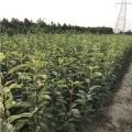 库尔勒香梨树苗出售、库尔勒香梨树苗多少钱一棵