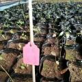 哪里有蓝莓苗批发 山东蓝莓苗价格 银庄农业现货供应