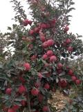 红蛇果苹果苗基地、红蛇果苹果苗多少钱