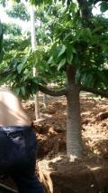 山西樱桃树基地 10公分占地樱桃树