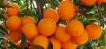 湖南哪里卖大棚脐橙苗的