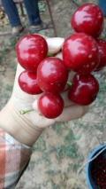 红蜜樱桃苗品种报价行情