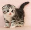 惠州哪里有卖苏格兰折耳猫呢
