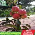 4公分短枝苹果苗基地