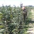 梨树苗批发 各种规格出售 梨树苗繁育基地直销