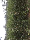 5公分梨树苗、5公分梨树苗批发什么价格