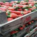 大棚草莓苗、大棚草莓苗价格多少