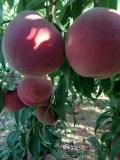 中桃22桃品种特性及基地报价