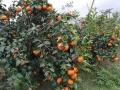 常德1-3年沃柑苗 均高60cm以上沃柑苗基地