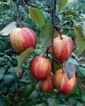 早酥红梨树苗,2年生早酥红梨树苗,早酥红梨树苗零售价格
