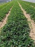 山谷女王草莓苗哪里便宜、哪里山谷女王草莓苗价格低