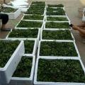 牛奶草莓苗批发价格 银庄农业草莓苗培育基地