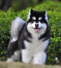 珠海卖纯种阿拉斯加犬、纯种阿拉斯加小狗多少钱