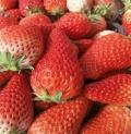 成都有天仙醉草莓苗吗 草莓苗繁育基地热销