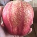 早酥红梨树苗价格 优质梨树苗 自家苗圃出售