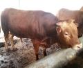 云南昆明附近哪里有肉牛养殖基地_征远牧业值得信赖!