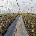 蓝莓苗批发市场、山东智利杜克蓝莓苗基地