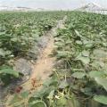 哪里有卖白草莓苗的 泰安草莓苗 现挖现卖